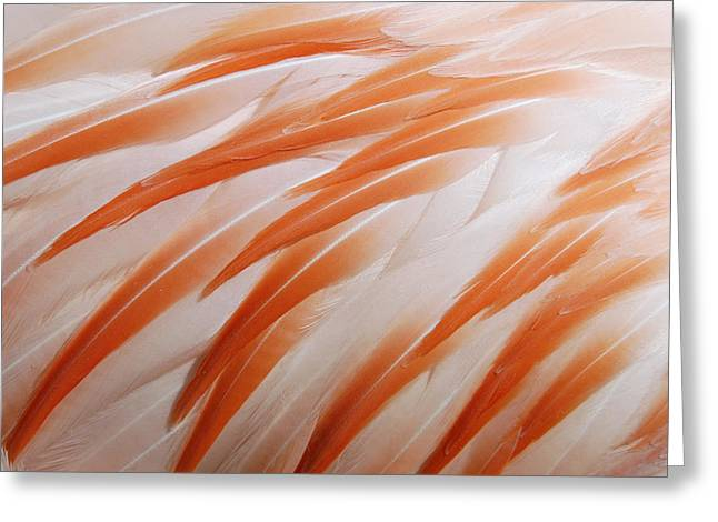Orange Coat Greeting Cards - Orange and white feathers of a flamingo Greeting Card by Matthias Hauser