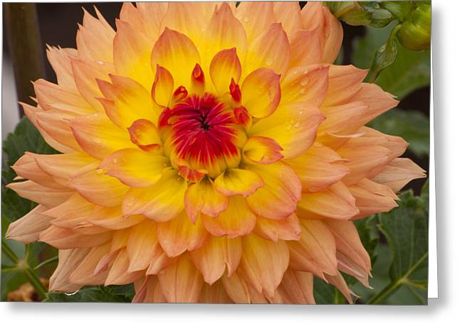 Yellow Greeting Cards - Orange and Yellow Dahlia Greeting Card by Mandy Judson