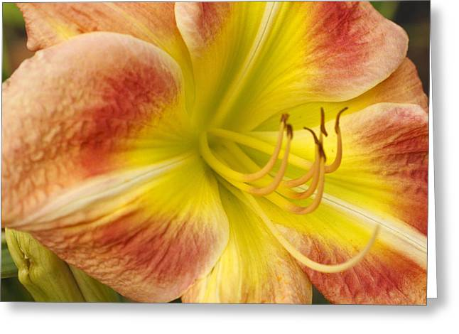Day Lilly Greeting Cards - Orange and Yellow Day Lilly Flower Greeting Card by Chris Mark Rembold