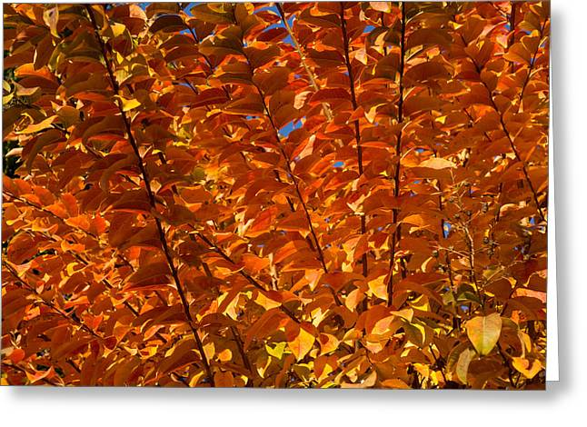 Tangerine Greeting Cards - Orange Autumn Lines and Diagonals - the Burning Bush Greeting Card by Georgia Mizuleva