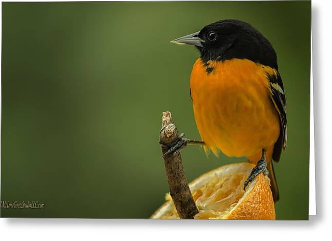 Wild Orchards Greeting Cards - Orange Baltimore Oriole Greeting Card by LeeAnn McLaneGoetz McLaneGoetzStudioLLCcom