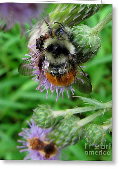 Natural Realm Greeting Cards - Orange Belted Bumble Bee Greeting Card by Joshua Bales