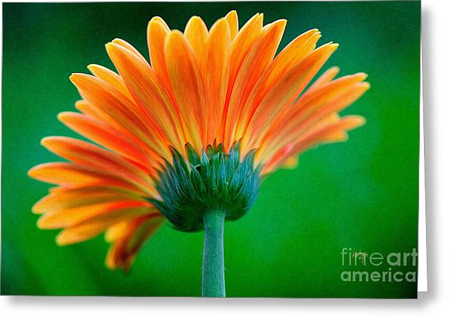 Zinnias Greeting Cards - Orange Blast Greeting Card by Lois Bryan