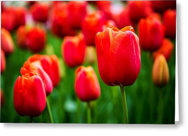 Keukenhof Gardens Greeting Cards - Orange Blossoms Greeting Card by Ryan Wyckoff