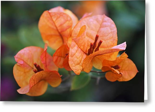 Nyctaginaceae Greeting Cards - Orange Bougainvillea Greeting Card by Rona Black