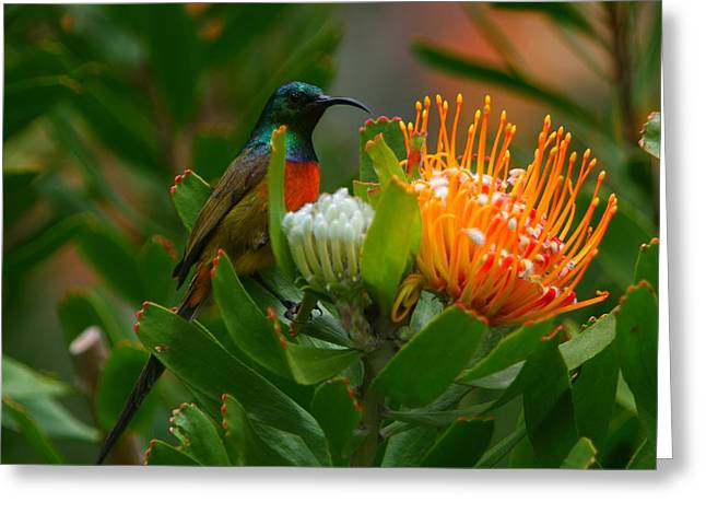 Sunbird Greeting Cards - Orange-breasted Sunbird II Greeting Card by Bruce J Robinson