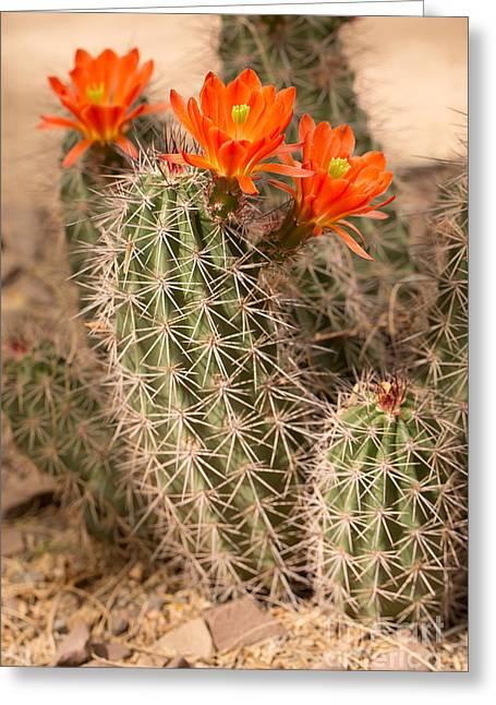 Cactus Southwest Cactus Flower Orange Wildflowers Nature Arizona Greeting Cards - Orange Cacti Greeting Card by Nicholas  Pappagallo Jr