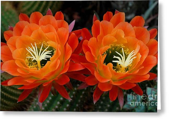 Botanic Digital Greeting Cards - Orange Cactus Flowers Greeting Card by Nancy Mueller