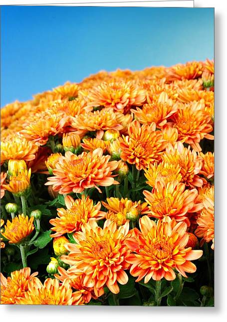 Chrysanthemum Greeting Cards - Orange Chyrsanthemum Greeting Card by Jim Hughes