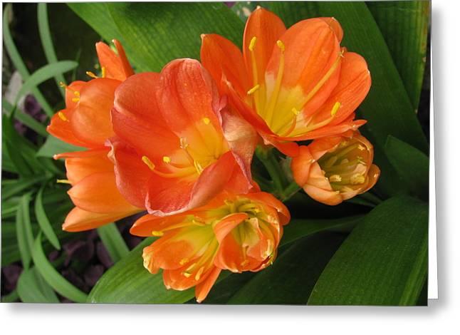 Orange Clivia Greeting Card by Alfred Ng