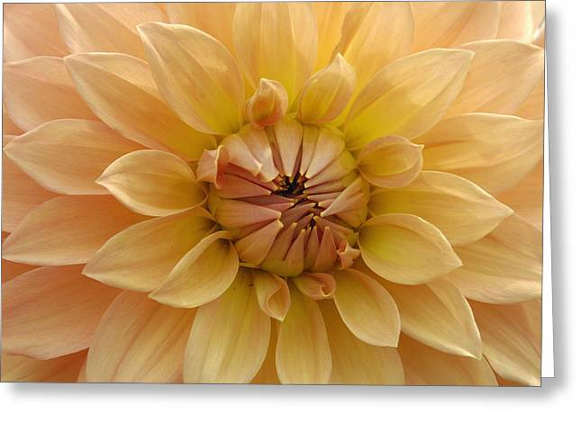 Orange Dahlia Closeup Greeting Card by Matthias Hauser