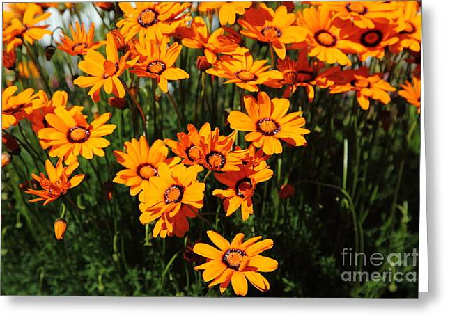 Perrenials Greeting Cards - Orange Daisies 5D22463 Greeting Card by Wingsdomain Art and Photography