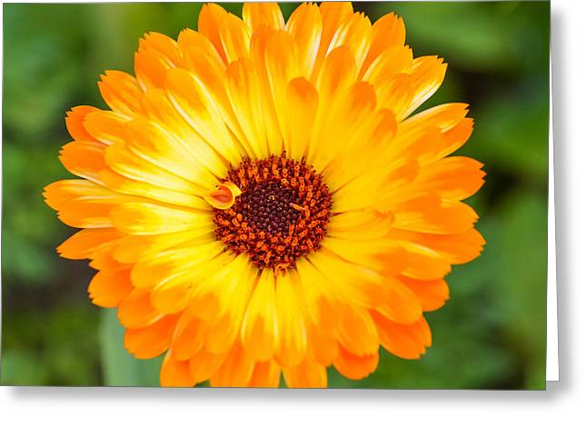Barberton Daisy Greeting Cards - Orange Daisy Greeting Card by Mary Moore