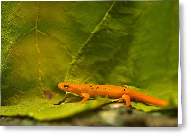 Salamander Greeting Cards - Orange Eastern Newt Notophathalmus Greeting Card by Douglas Barnett