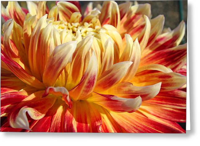 Art Heals Greeting Cards - Orange Floral art Dinner Plate Dahlia Flower Greeting Card by Baslee Troutman