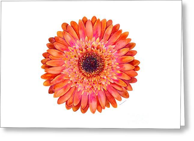 Orange Gerbera Daisy Greeting Card by Amy Kirkpatrick