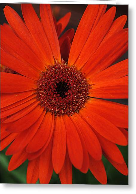 Barberton Daisy Greeting Cards - Orange Gerbera Daisy Greeting Card by Tammy Burgess