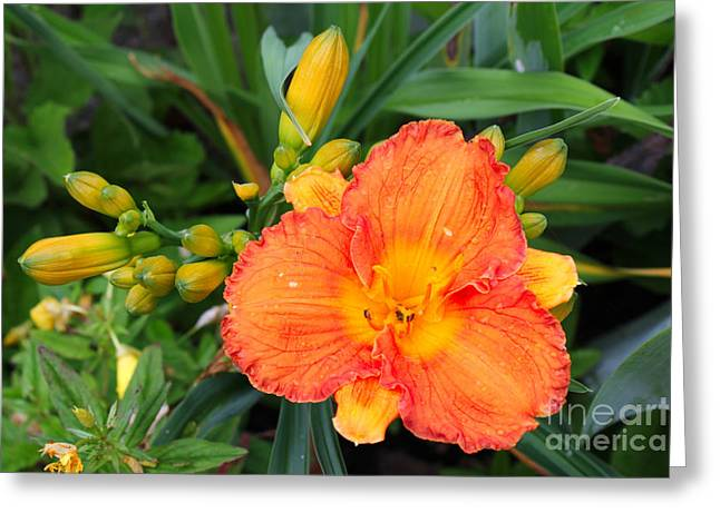 Gladiolas Greeting Cards - Orange Gladiola Flower and Buds Greeting Card by Corey Ford