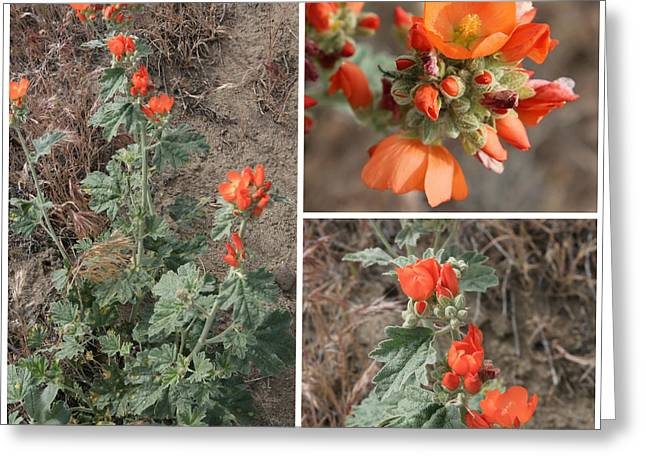 Sphaeralcea Greeting Cards - Orange Globe Mallow Collage Greeting Card by Carol Groenen