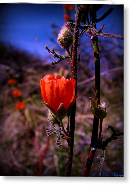 Watson Lake Greeting Cards - Orange Globe Mallows and Blue Arizona Skies Greeting Card by Aaron Burrows