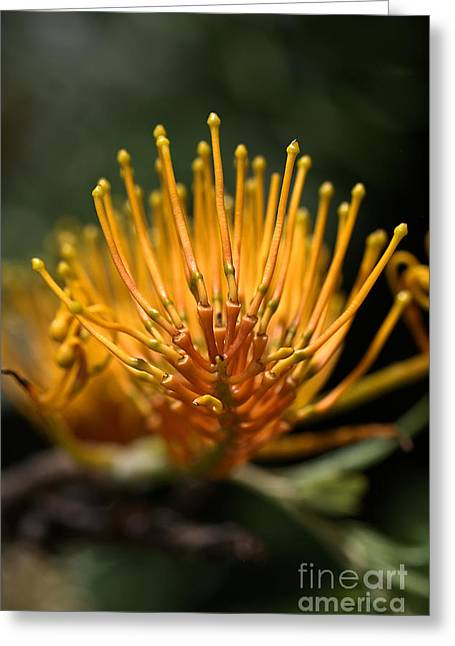 Orange Grevillea Greeting Card by Joy Watson