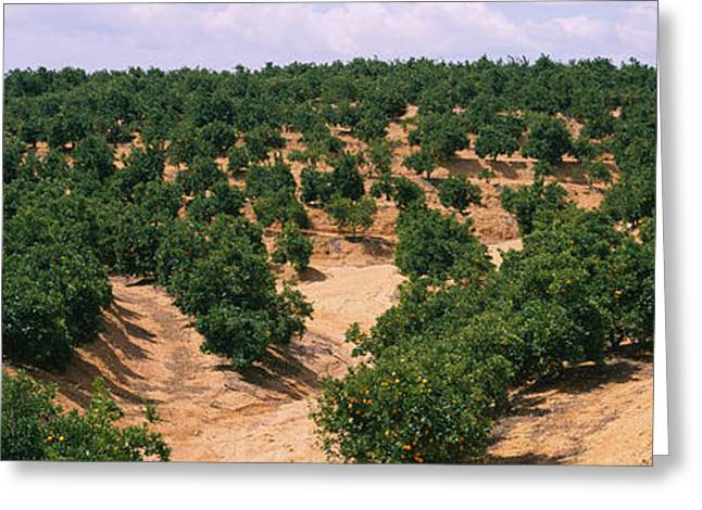 Andalusia Greeting Cards - Orange Groves In A Field, Andalusia Greeting Card by Panoramic Images