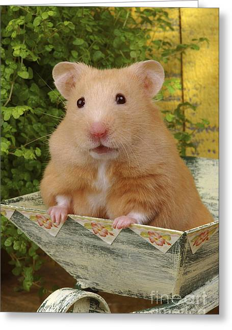 Orange Hamster Ha106 Greeting Card by Greg Cuddiford