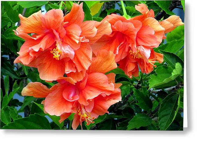 Hibiscus Greeting Cards - Orange hibiscus 3 Greeting Card by Zina Stromberg