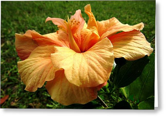 Hibiscus Greeting Cards - Orange hibiscus Greeting Card by Zina Stromberg