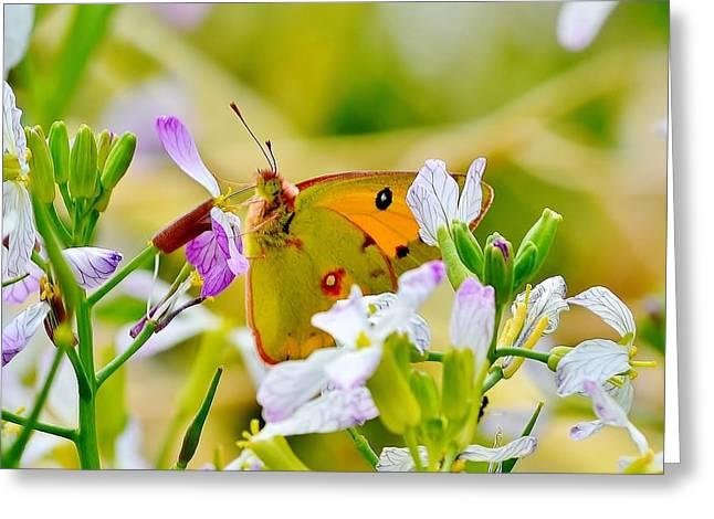 Animal Greeting Cards - Orange Himalayan Butterfly Greeting Card by Kim Bemis