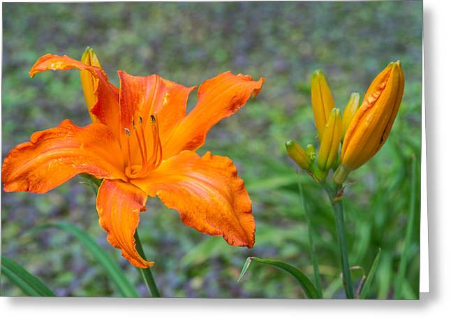 Tendrils Greeting Cards - Orange Lily 6 Greeting Card by Douglas Barnett
