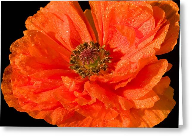 Stamen Greeting Cards - Orange Oriental Poppy Flower Greeting Card by Keith Webber Jr