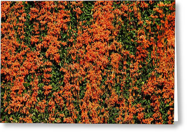 Botany Greeting Cards - Orange Parade Greeting Card by Aimee L Maher Photography and Art