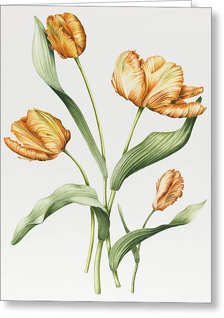 Flower Still Life Prints Greeting Cards - Orange Parrot Tulips Greeting Card by Sally Crosthwaite