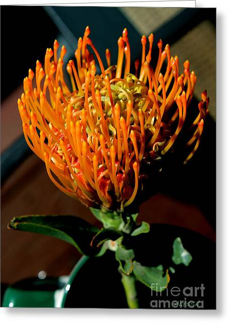 Orange Pin Cushion Greeting Cards - Orange Pin Cushion Protea Greeting Card by Alyssa Rogers