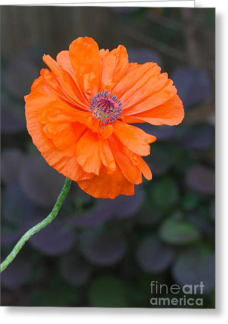 Orange Poppy Greeting Card by Steve Augustin