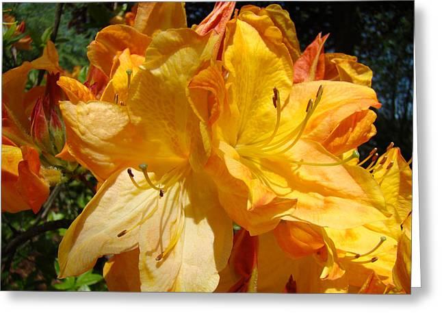 Rhodies Greeting Cards - Orange Rhodies Flowers art Prints Floral Greeting Card by Baslee Troutman