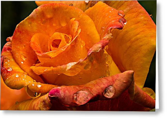 Tea Rose Greeting Cards - Orange Rose Drops Greeting Card by Mary Jo Allen