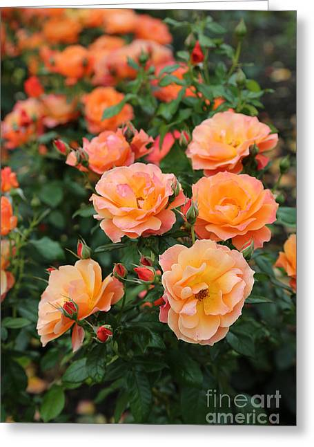 Carol Groenen Greeting Cards - Orange Roses Greeting Card by Carol Groenen