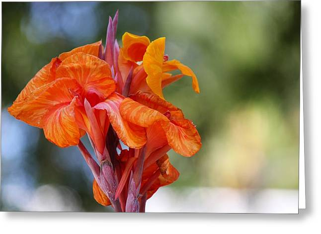 Emergence Greeting Cards - Orange Ruffled Beauty Greeting Card by Leigh Meredith