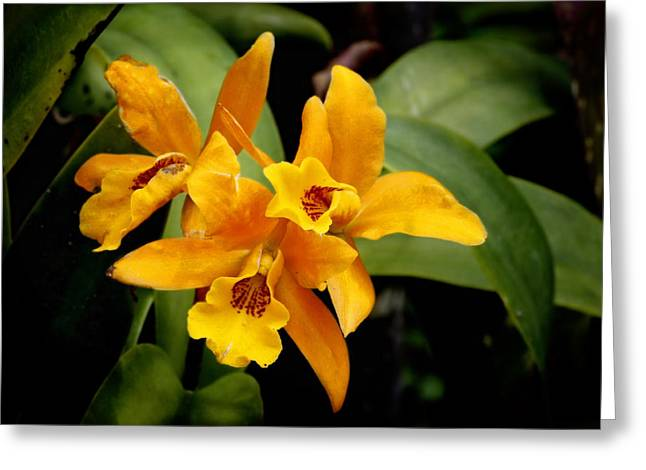 Orange Spotted Lip Cattleya orchid Greeting Card by Rudy Umans