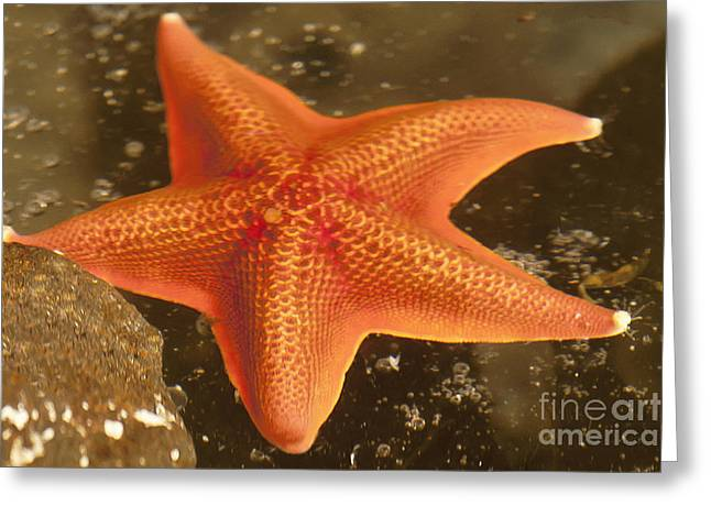 Poular Ocean Art Greeting Cards - Orange Starfish in California Ocean Greeting Card by Artist and Photographer Laura Wrede