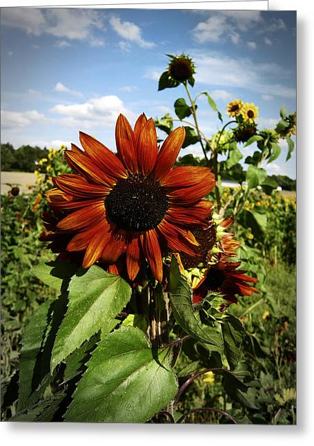 Sunflower Patch Greeting Cards - Orange Sunflower Greeting Card by Nafets Nuarb