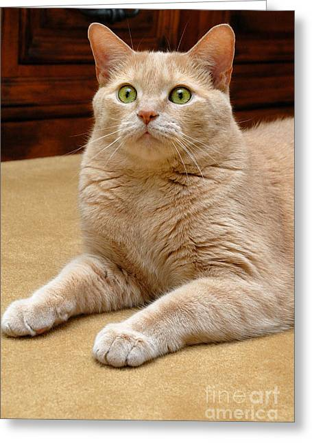 Whiskers Greeting Cards - Orange Tabby Cat Greeting Card by Amy Cicconi