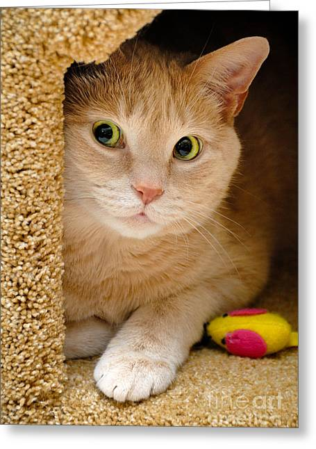 Pose Greeting Cards - Orange Tabby Cat in Cat Condo Greeting Card by Amy Cicconi