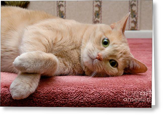 Nose Greeting Cards - Orange Tabby Cat Lying Down Greeting Card by Amy Cicconi