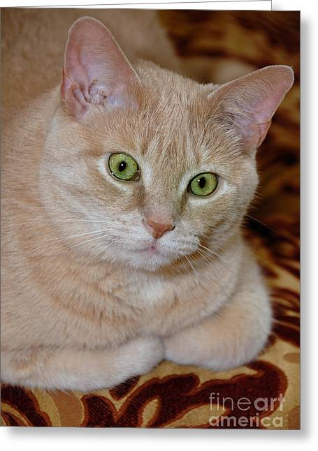 Paws Greeting Cards - Orange Tabby Cat Poses Royally Greeting Card by Amy Cicconi