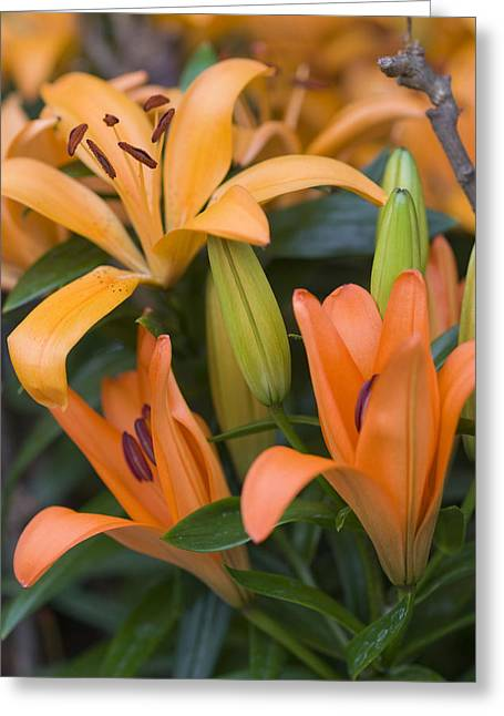 Stamen Greeting Cards - Orange Tiger Lily Greeting Card by Juli Scalzi