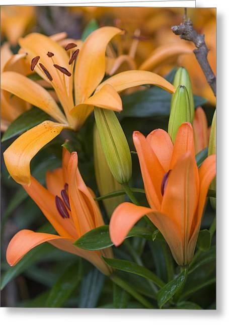 Stamen Greeting Cards - Orange Tiger Lily Greeting Card by Juli Scalzi