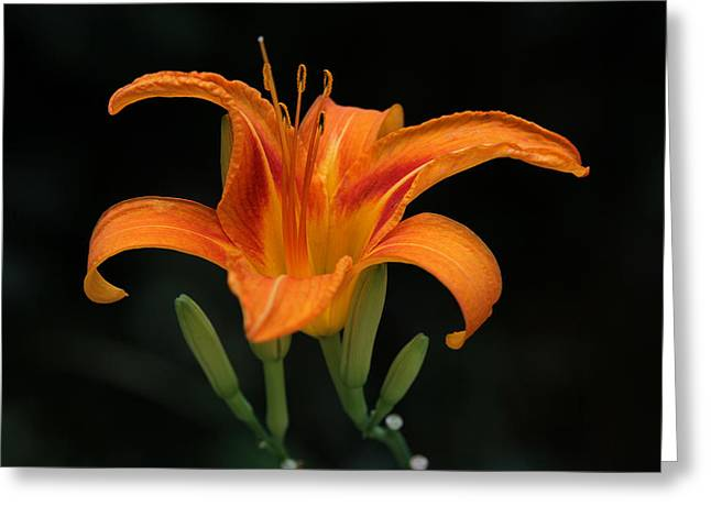 Floral Greeting Cards - Orange Tiger Lily Over Black Greeting Card by Juergen Roth